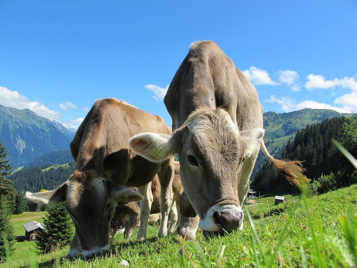 Foto: Kuh auf der Weide
